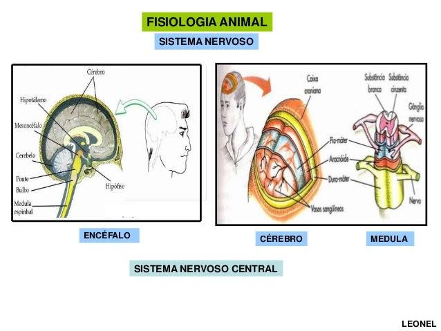 FISIOLOGIA ANIMAL SISTEMA NERVOSO  ENCÉFALO  CÉREBRO  MEDULA  SISTEMA NERVOSO CENTRAL  LEONEL