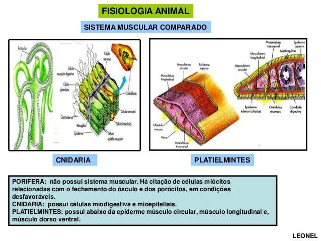 FISIOLOGIA ANIMAL SISTEMA MUSCULAR COMPARADO  CNIDARIA  PLATIELMINTES  PORIFERA: não possui sistema muscular. Há citação d...