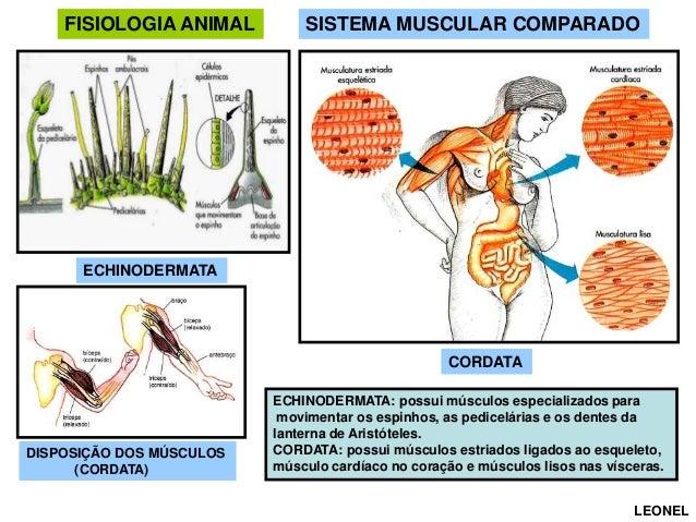 FISIOLOGIA ANIMAL  SISTEMA MUSCULAR COMPARADO  ECHINODERMATA  CORDATA  DISPOSIÇÃO DOS MÚSCULOS (CORDATA)  ECHINODERMATA: p...