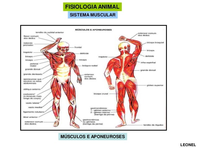 FISIOLOGIA ANIMAL SISTEMA MUSCULAR  MÚSCULOS E APONEUROSES LEONEL