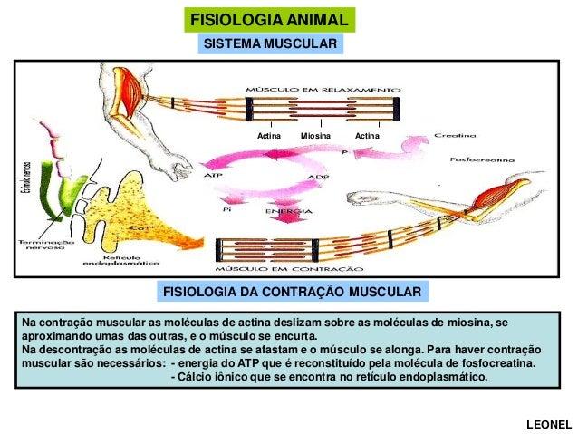 FISIOLOGIA ANIMAL SISTEMA MUSCULAR  Actina  Miosina  Actina  FISIOLOGIA DA CONTRAÇÃO MUSCULAR Na contração muscular as mol...