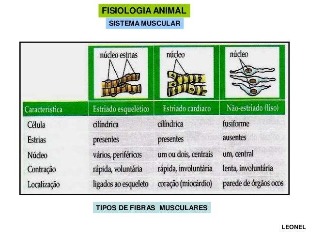FISIOLOGIA ANIMAL SISTEMA MUSCULAR  TIPOS DE FIBRAS MUSCULARES LEONEL
