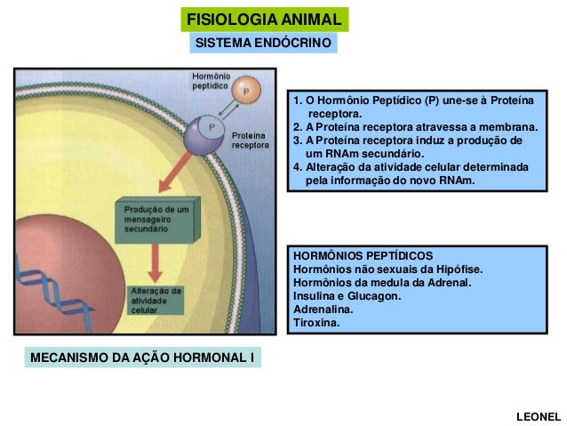FISIOLOGIA ANIMAL SISTEMA ENDÓCRINO  1. O Hormônio Peptídico (P) une-se à Proteína receptora. 2. A Proteína receptora atra...