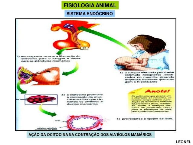 FISIOLOGIA ANIMAL SISTEMA ENDÓCRINO  AÇÃO DA OCITOCINA NA CONTRAÇÃO DOS ALVÉOLOS MAMÁRIOS LEONEL