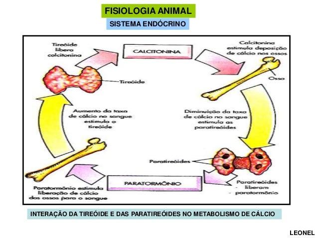 FISIOLOGIA ANIMAL SISTEMA ENDÓCRINO  INTERAÇÃO DA TIREÓIDE E DAS PARATIREÓIDES NO METABOLISMO DE CÁLCIO LEONEL
