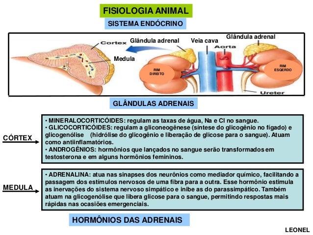 FISIOLOGIA ANIMAL SISTEMA ENDÓCRINO Glândula adrenal  Veia cava  Glândula adrenal  Medula RIM DIREITO  RIM ESQERDO  GLÂNDU...