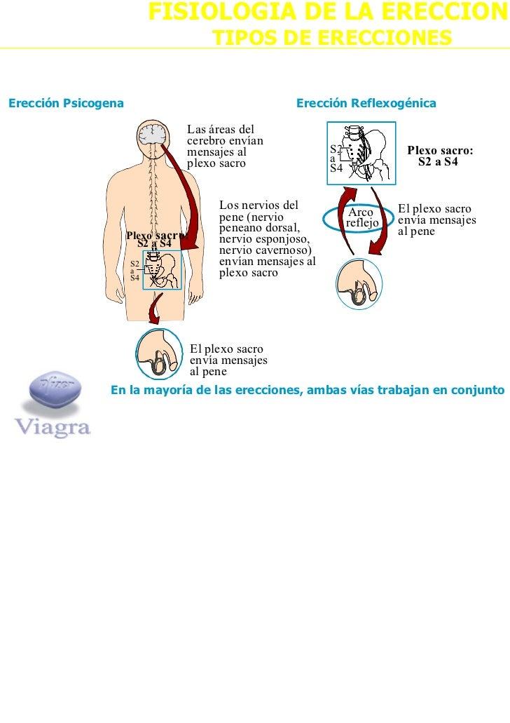 acetilcolina ereccion