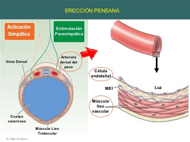 ereccion peneana