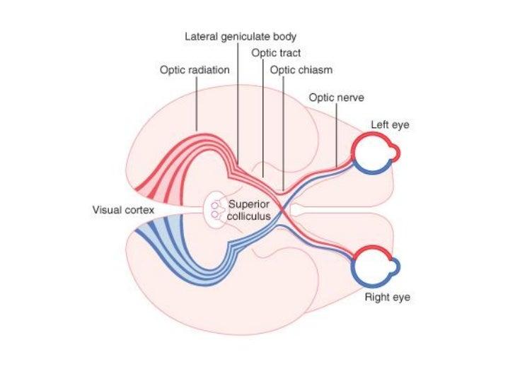 Único La Anatomía Y La Fisiología Visual En Línea Modelo - Anatomía ...
