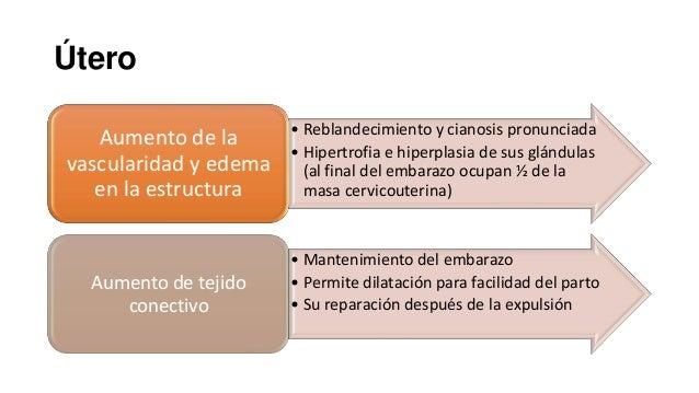 Útero Aumento de la vascularidad y edema en la estructura  • Reblandecimiento y cianosis pronunciada • Hipertrofia e hiper...