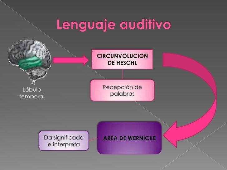 Magnífico Anatomía Del Mecanismo Del Habla Galería - Anatomía de Las ...