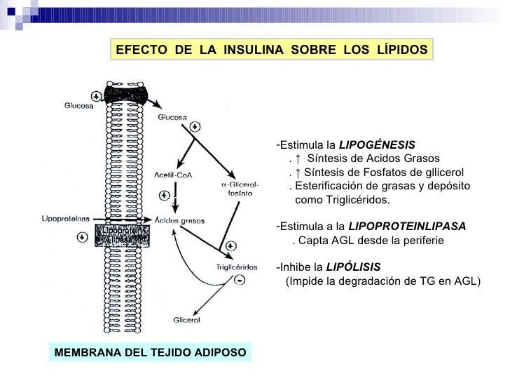 EFECTO  DE  LA  INSULINA  SOBRE  LOS  LÍPIDOS <ul><li>Estimula la  LIPOGÉNESIS </li></ul><ul><li>.  ↑  Síntesis de Acidos ...