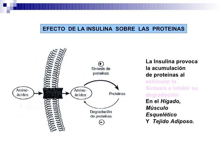 EFECTO  DE LA INSULINA  SOBRE  LAS  PROTEINAS La Insulina provoca la acumulación de proteínas al  estimular la Síntesis e ...