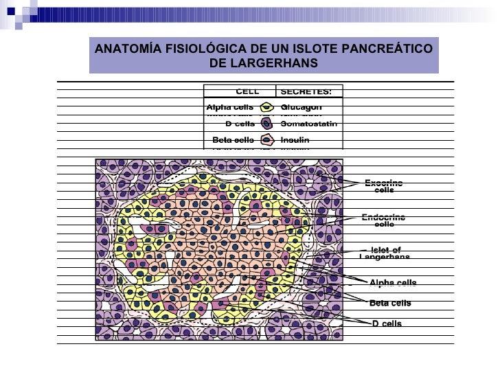Fisiologia Del Pancreas Endocrino Slide 2