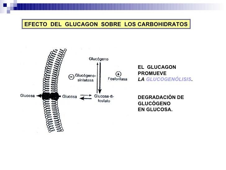 EFECTO  DEL  GLUCAGON  SOBRE  LOS CARBOHIDRATOS EL  GLUCAGON  PROMUEVE LA  GLUCOGENÓLISIS . DEGRADACIÓN DE GLUCÓGENO EN GL...