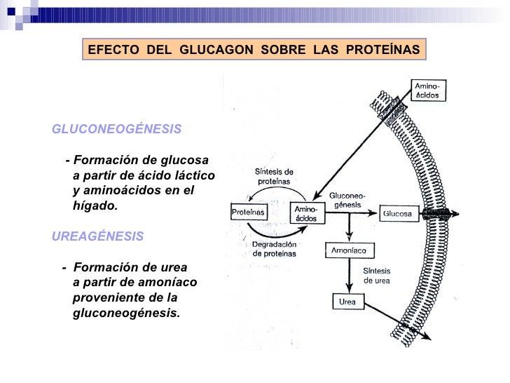 EFECTO  DEL  GLUCAGON  SOBRE  LAS  PROTEÍNAS GLUCONEOGÉNESIS  - Formación de glucosa  a partir de ácido láctico y aminoáci...