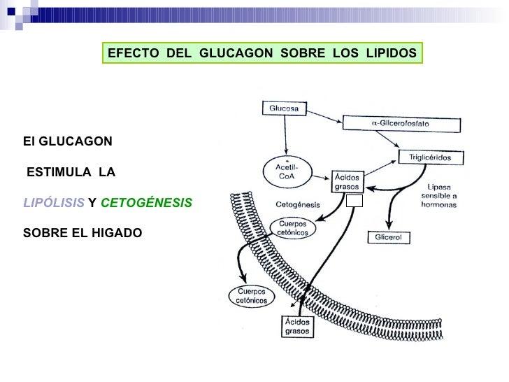 EFECTO  DEL  GLUCAGON  SOBRE  LOS  LIPIDOS El GLUCAGON ESTIMULA  LA  LIPÓLISIS   Y  CETOGÉNESIS SOBRE EL HIGADO