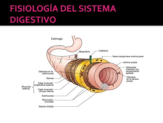 ANATOMIA Y FISIOLOGIA NOCTURNO: Fisiología del Sistema Digestivo