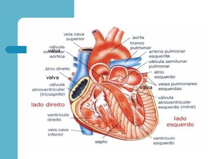 Lujo Anatomía Y Fisiología De Los Vasos Sanguíneos Bosquejo ...