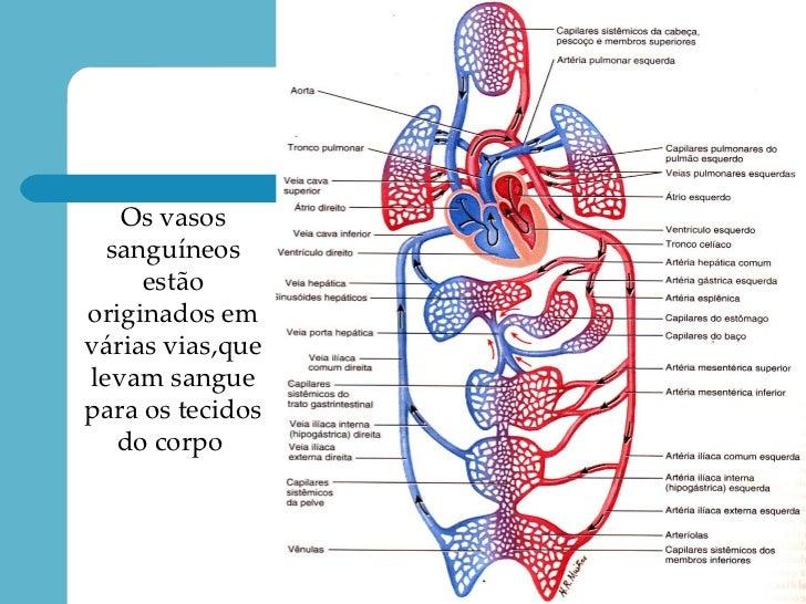 Fisiologia E Anatomia Do Sistema Cardiovascular