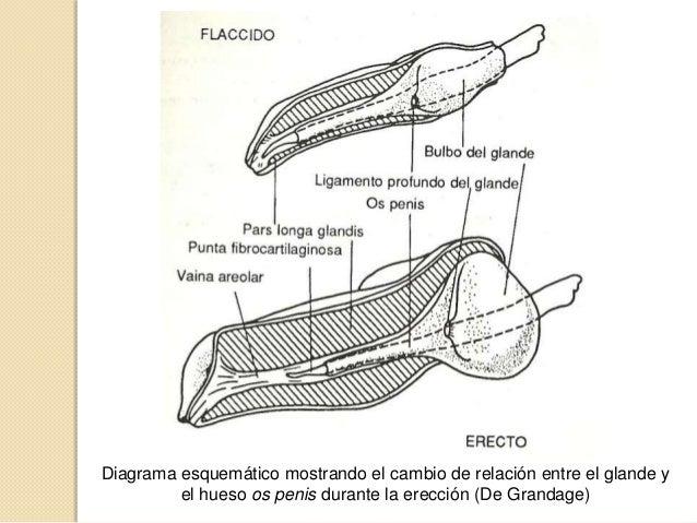Fisiologia, reproductor macho
