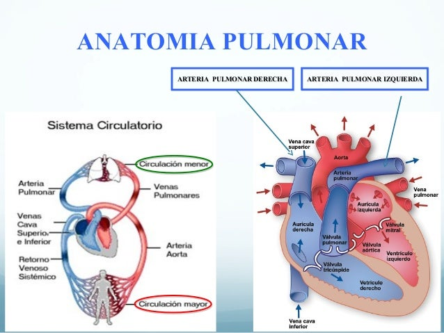 Fisiología respiratoria. Circulación pulmonar