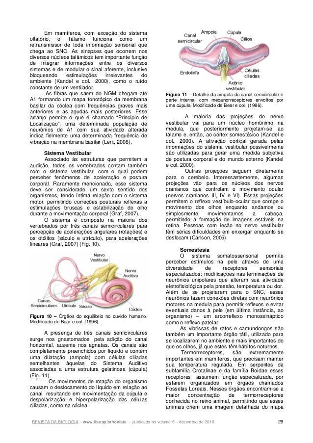 REVISTA DA BIOLOGIA – www.ib.usp.br/revista – publicado no volume 5 – dezembro de 2010 29 Em mamíferos, com exceção do sis...