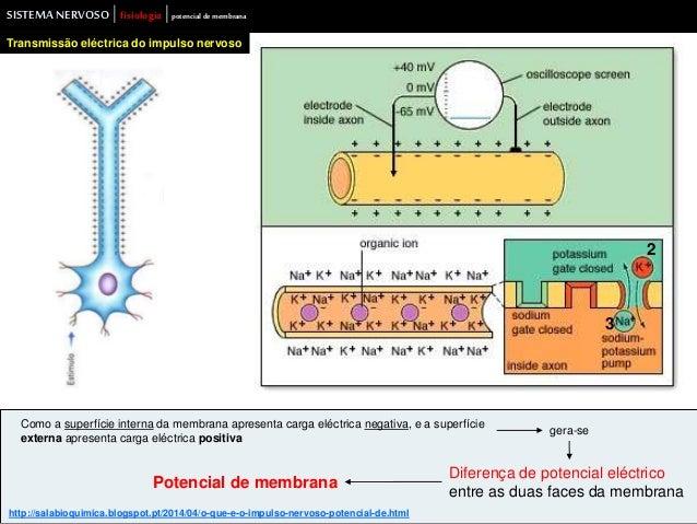SISTEMA NERVOSO | fisiologia |potencial de membrana  Transmissão eléctrica do impulso nervoso  Como a superfície interna d...