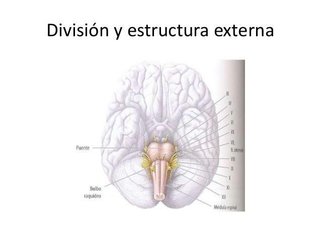Fisiologia tallo cerebral