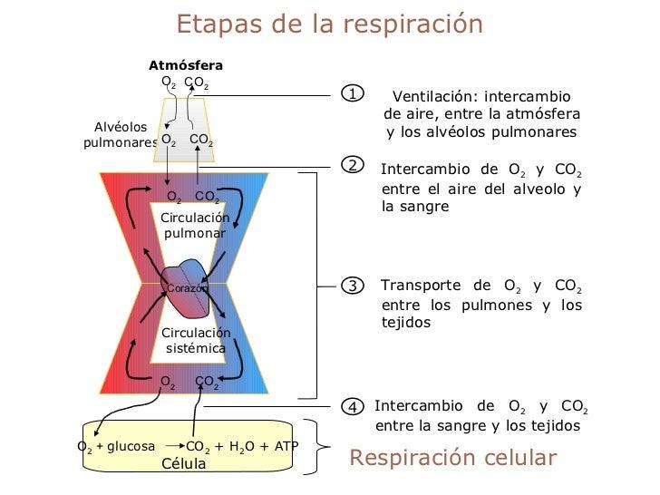 Etapas de la respiración Respiración celular Intercambio de O 2  y CO 2  entre la sangre y los tejidos 4 Transporte de O 2...