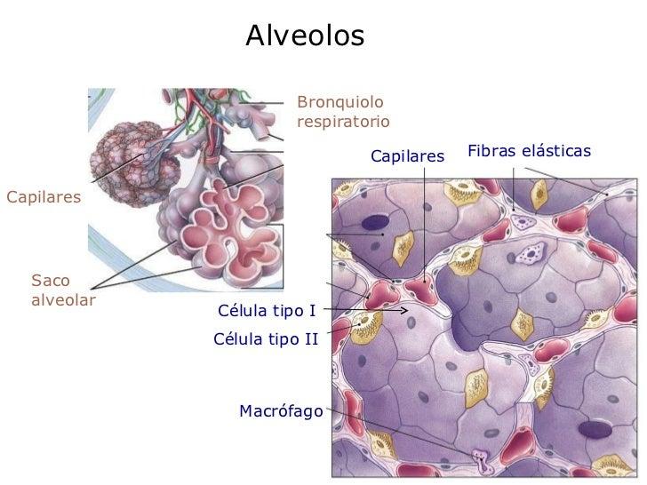 Alveolos Saco  alveolar Bronquiolo respiratorio Capilares Célula tipo II Célula tipo I Capilares Fibras elásticas Macrófago