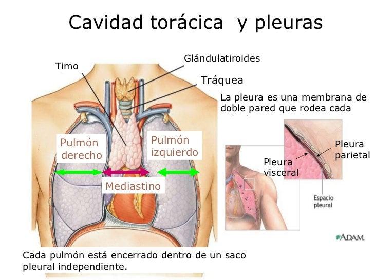 Increíble Membrana Cavidad Torácica Bosquejo - Anatomía de Las ...