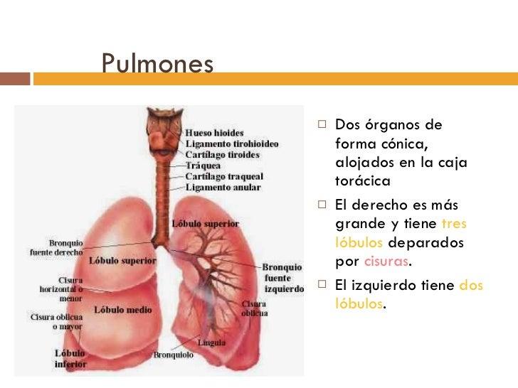 Pulmones <ul><li>Dos órganos de forma cónica, alojados en la caja torácica </li></ul><ul><li>El derecho es más grande y ti...