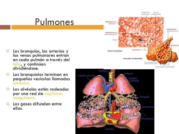 Pulmones <ul><li>Los bronquios, las arterias y las venas pulmonares entran en cada pulmón a través del  hilio , y continúa...