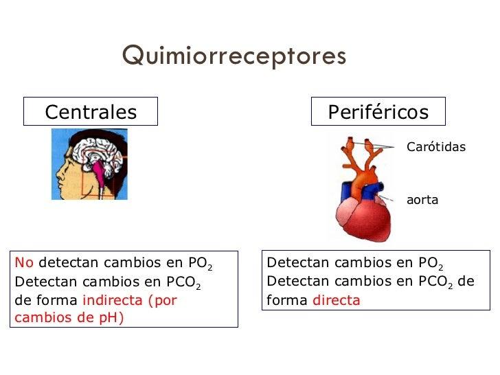 Quimiorreceptores Detectan cambios en PO 2 Detectan cambios en PCO 2  de forma  directa No  detectan cambios en PO 2 Detec...