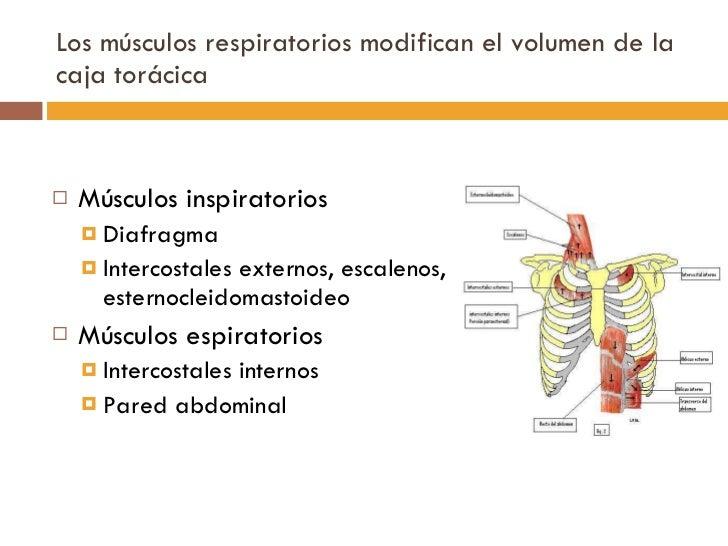 Los músculos respiratorios modifican el volumen de la caja torácica  <ul><li>Músculos inspiratorios </li></ul><ul><ul><li>...