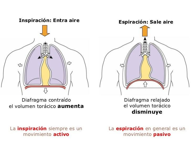 Diafragma contraído el volumen torácico  aumenta Inspiración: Entra aire Diafragma relajado el volumen torácico  disminuye...