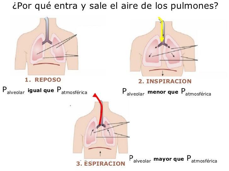 ¿Por qué entra y sale el aire de los pulmones? 3. ESPIRACION P alveolar   mayor que  P atmosférica P alveolar   igual que ...