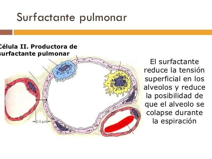 Surfactante pulmonar El surfactante reduce la tensión superficial en los alveolos y reduce la posibilidad de que el alveol...