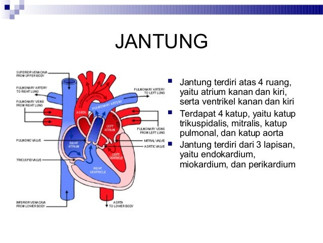 Fisiologi Sistem Kardiovaskular
