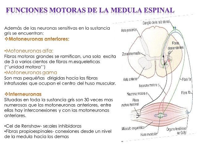 Fisiologia Funciones Motoras
