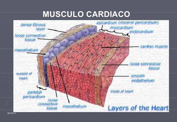 Fisioologia muscular