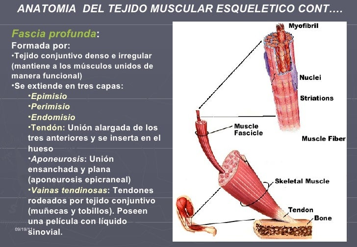 Hermosa Anatomía De Revisión Respuestas Tejido Del Músculo ...
