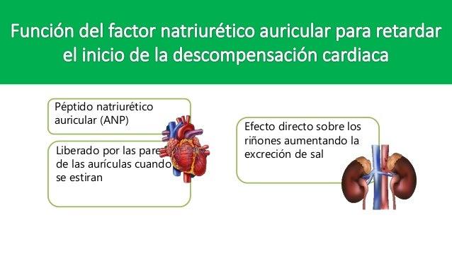 Péptido natriurético auricular (ANP) Liberado por las paredes de las aurículas cuando se estiran Efecto directo sobre los ...