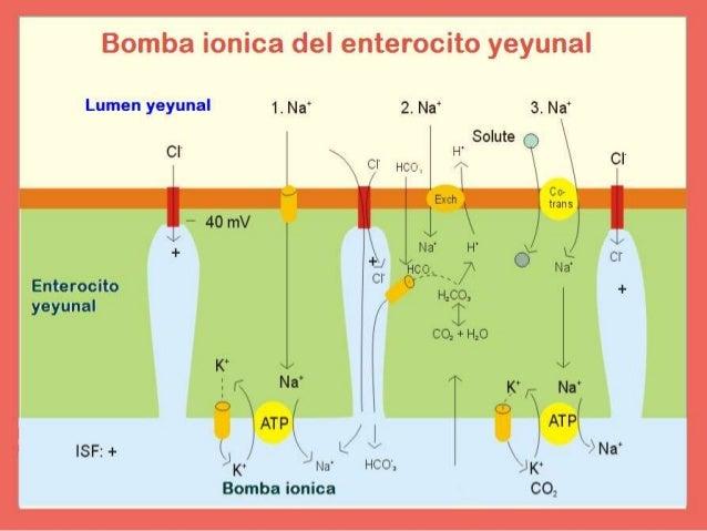   secreción intestinal   motilidad.  Daño al epitelio (enterocitos)   disacaridasas, proteasas, transportadores  A...