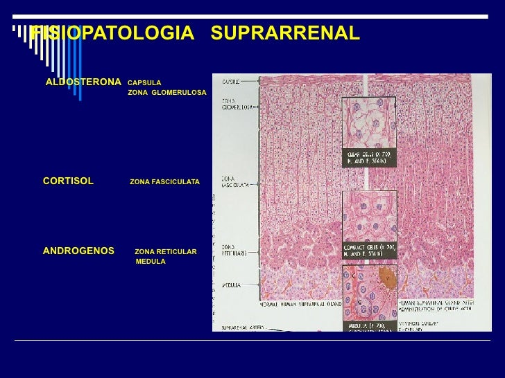 FISIOPATOLOGIA  SUPRARRENAL <ul><li>ALDOSTERONA   CAPSULA </li></ul><ul><li>ZONA  GLOMERULOSA </li></ul><ul><li>CORTISOL  ...