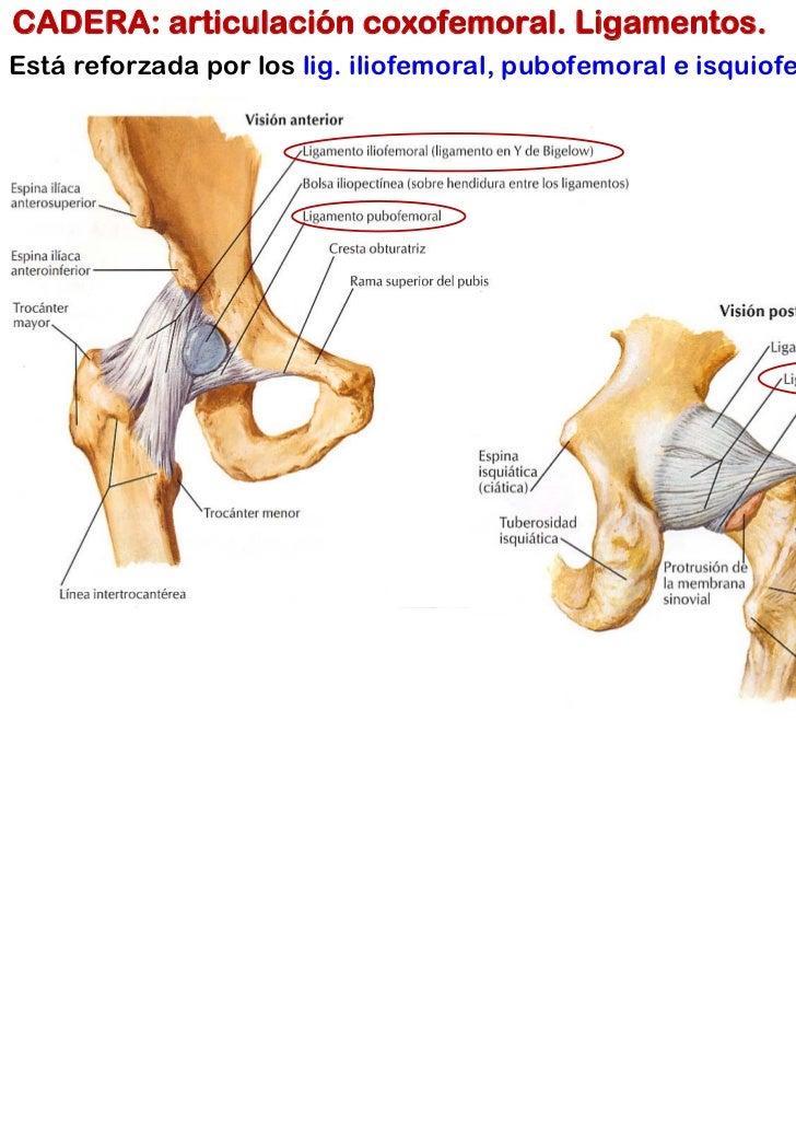 Atractivo Ligamentos De Articulación De La Cadera Colección de ...