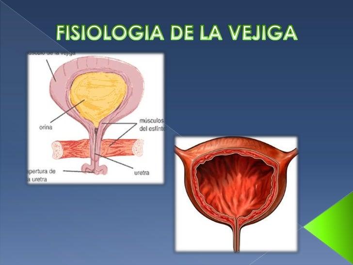Fisologia de la vejiga