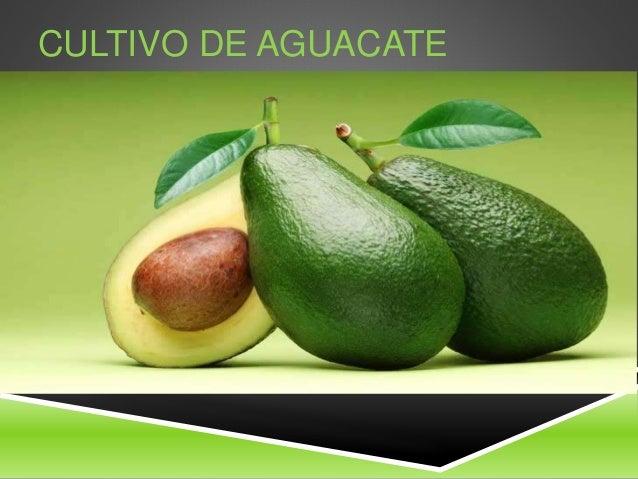 Cultivo de aguacate y mango for Como cultivar aguacate