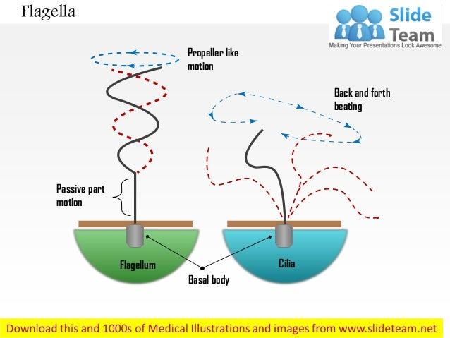 Flagella diagram with labels application wiring diagram flagella medical images for power point rh slideshare net animal cell diagram flagella simple diagram of cilia and flagella ccuart Choice Image